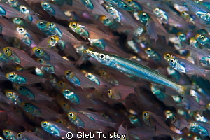 Juvenile barracuda in a school of glass fish by Gleb Tolstov 